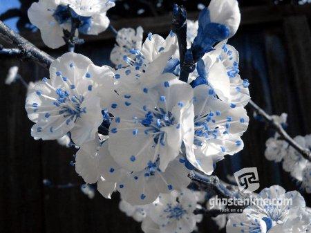 Когда цветет сакура?